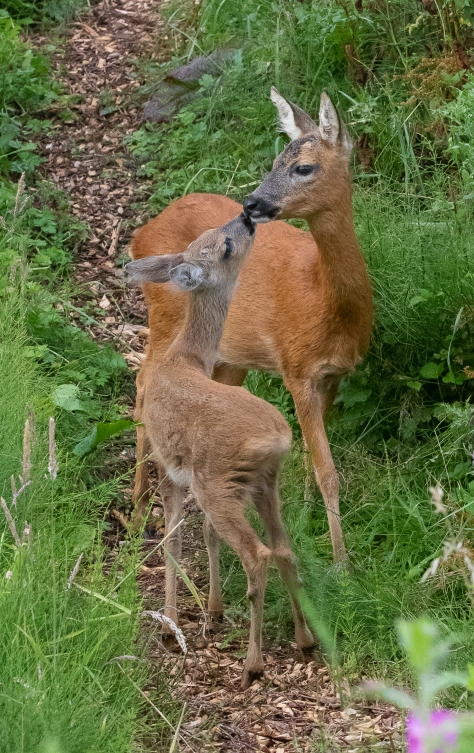 fawn with mother kissing-0372