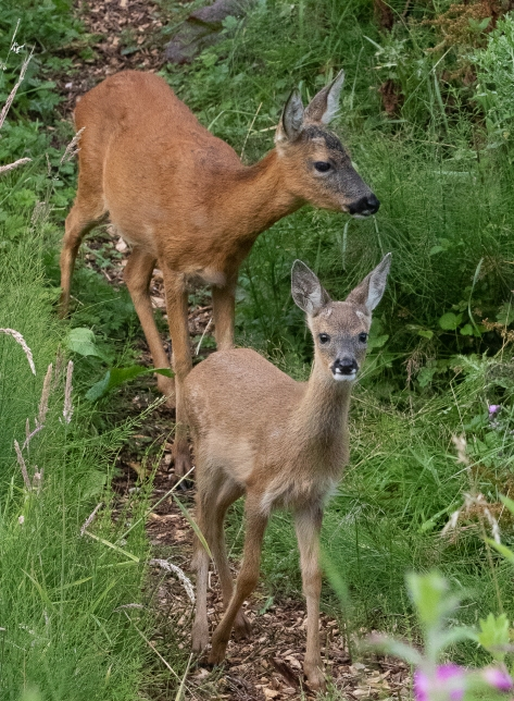 fawn with mother on badger set II-0354