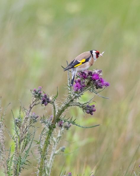 Goldfinch-4000