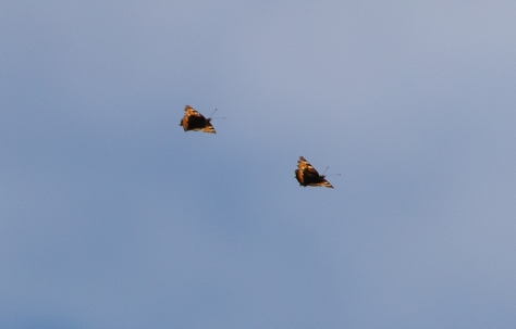 small tortoiseshells formation flying-8656