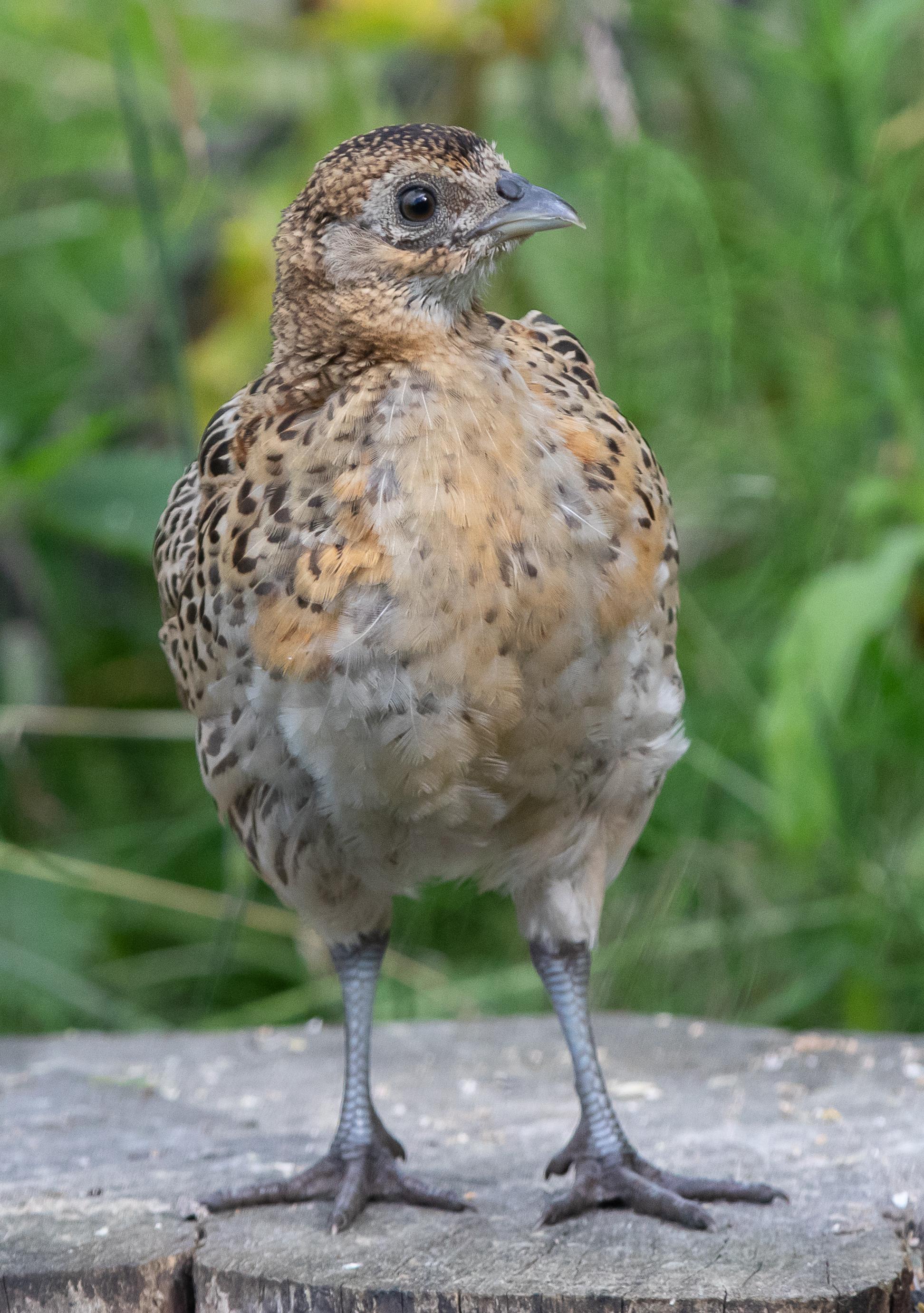 Upright phezzy chick-0542